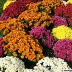 Large choix de chrysanthèmes pour la Toussaint, pensées, arbustes et vivaces et compositions fleuries à la serre du Lycée agricole Saint-François (31)