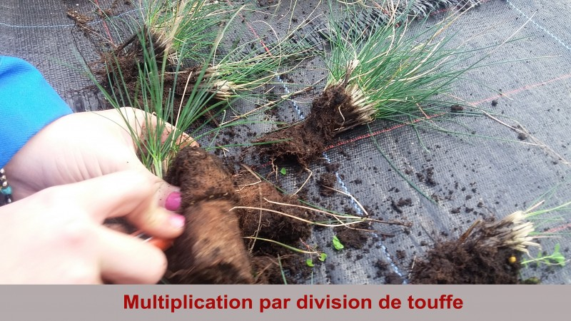 2-multiplication-par-division-de-touffe