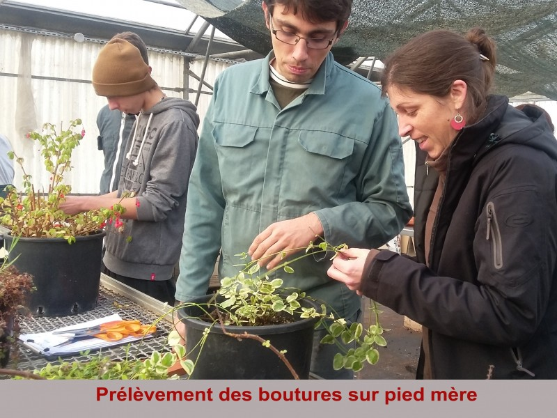 prelevement-boutures