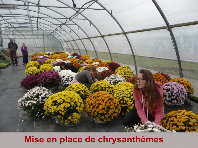 mise-en-place-de-chrysanthemes