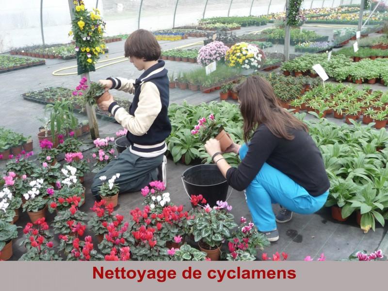 nettoyage-de-cyclamens