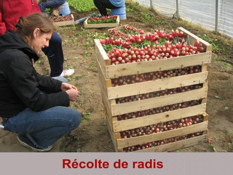 recolte-de-radis