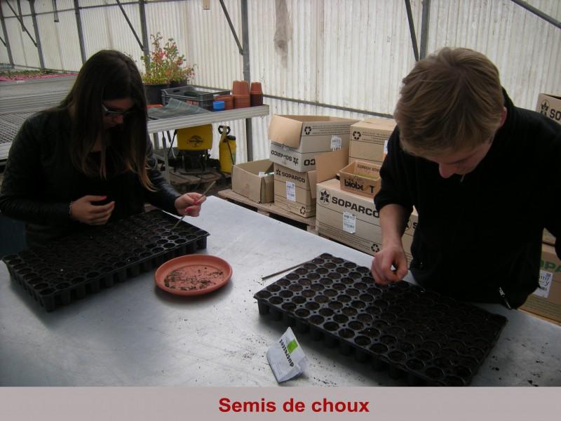 semis-de-choux