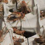 Dans le cadre des Enseignements Pratiques Interdisciplinaires (EPI) les élèves de 3ème du lycée Saint-François ont élevé des insectes comestibles.