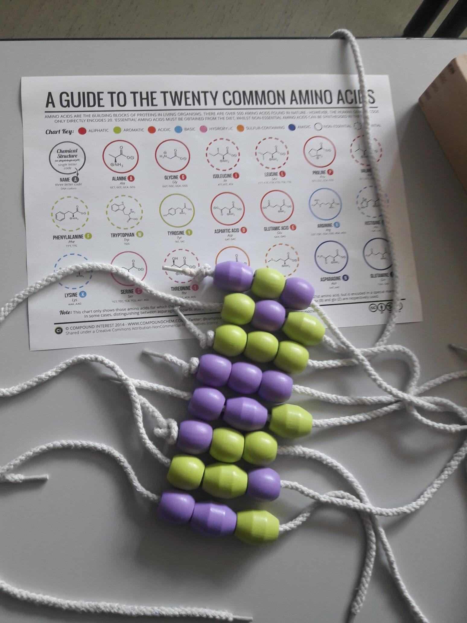 L'assemblage des acides aminés : analogie avec un collier de perles